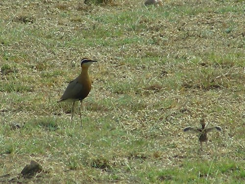 INDIAN COURSER and THE chick