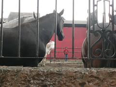 esperando los gauchos (sweetnseattle) Tags: boy horses uruguay prado blurrish semanacriolla