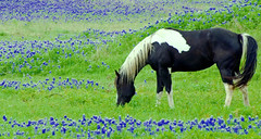 Black & White & Blue & Green (Jeff Clow) Tags: horse field spring bravo texas meadow explore pasture dfw bluebonnets naturesfinest magicdonkey anawesomeshot colorphotoaward impressedbeauty diamondclassphotographer thebluebonnettrail sugarridgeroad