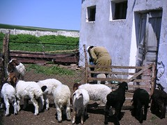 Kazakh shepherds