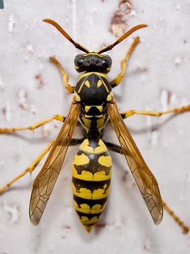 Avispa -- macro natures negro avispa aguijon insectos alas saturacio bee alfonsobenayas amarillo palencia