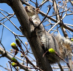 Squirrel_1068 (dcsaint) Tags: favorite tree animal canon squirrel pennsylvania pa s3 favorited canonpowershots3is dcsaint