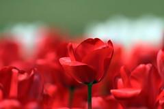 Tulips (tsuntsun3) Tags: red flower japan tokyo explore soe excellence naturesfinest flickrsbest abigfave impressedbeauty superaplus aplusphoto diamondclassphotographer img370800