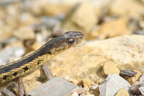 common garter snake garter snake full