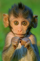 Boxing baby monkey (Ari V) Tags: baby cute green look animals pose hair monkey interesting intense eyes bravo funny cambodia action innocent stare boxing hairstyle naturesfinest magicdonkey 35faves specanimal diamondclassphotographer platinumheartaward