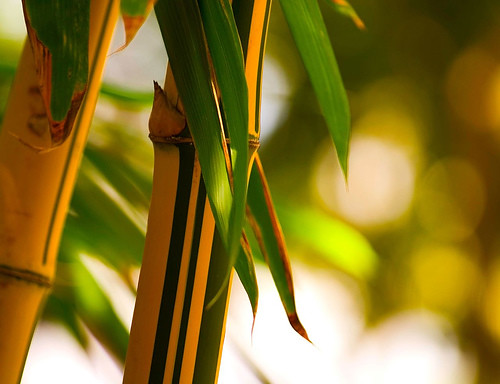 Bamboo by Doctian
