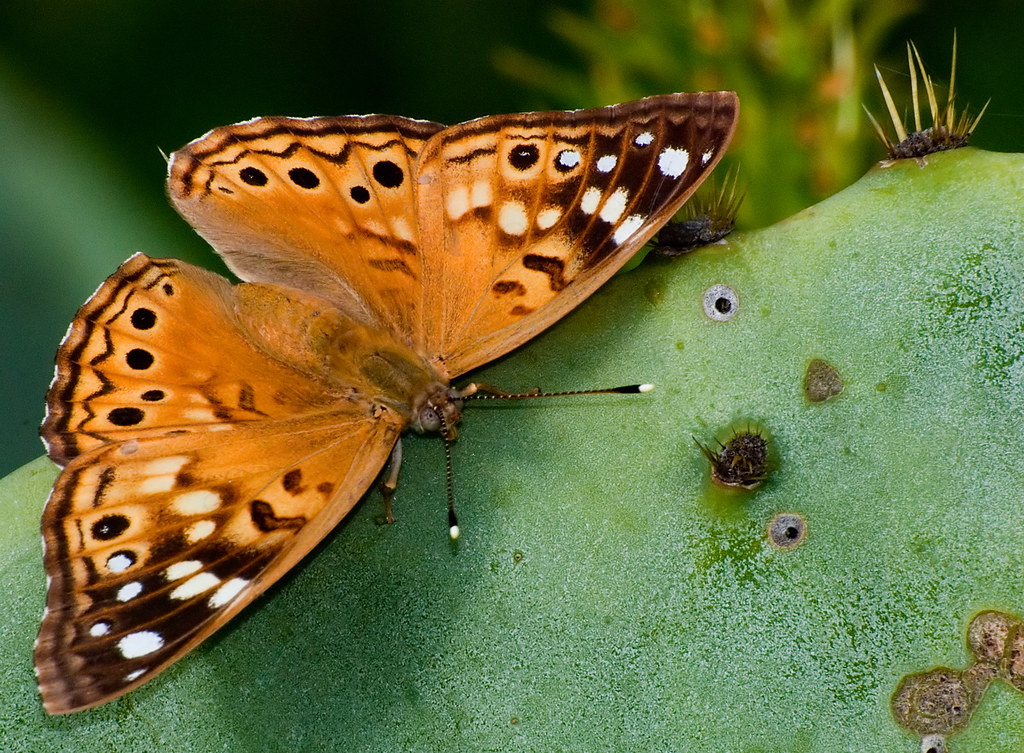 Hackberry emperor on a prickly pear cactus pad