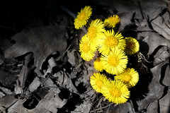 Yellow Weeds... the first sign of spring (Michael Rugosi) Tags: life flower sign yellow dead spring weeds first daisy alive