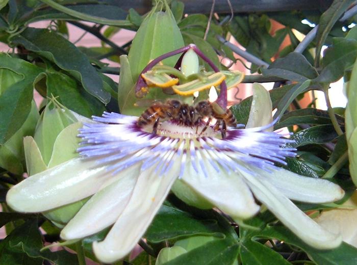 BeesPassi