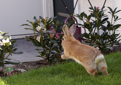 Jumping Pip (Sjaek) Tags: pet cute rabbit bunny green grass animal outside jump jumping furry sweet sony adorable fluffy running pip alpha a100