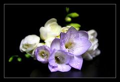 Freesia (Natascha) Tags: flowers nature colors spring bravo quality freesia excellence novideo abw magicdonkey 60000views brezndieb anawesomeshot diamondclassphotographer bratanesque frhwofavs