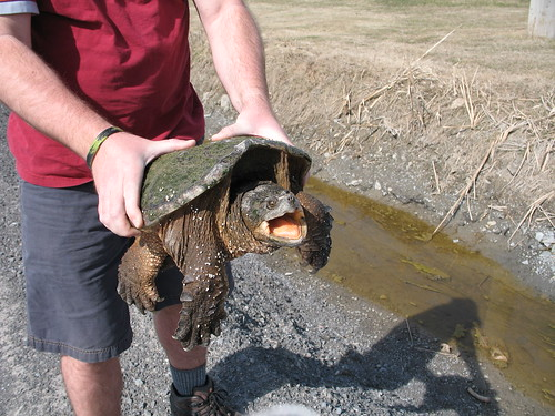 Snapping turtle rescue