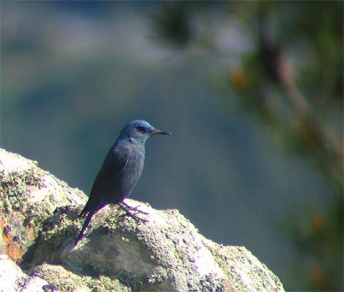 Melro-azul (Monticola solitarius) by Pyconotus.