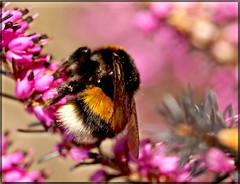 Bye Bye Bumble (Kirsten M Lentoft) Tags: pink macro topc25 heather bee honey bumble rightplacerighttime naturesfinest blueribbonwinner flickrsbest aplusphoto momse2600 thetempleofaphrodite kirstenmlentoft