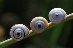 Nature's Art (David Lev) Tags: bravo mygarden snails peopleschoice naturesfinest blueribbonwinner parkstock nirim supershot instantfave outstandingshots specnature masterphotos abigfave anawesomeshot superaplus aplusphoto 1on1allbugs superbmasterpiece goldenphotographer bratanesque flickrsmasterpieces