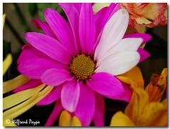 Daisy For You (frankeys creation) Tags: flowers red white daisy tornado excellence blueribbonwinner