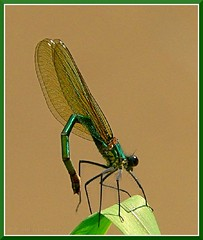 Ol! (zogt2000 (No Video)) Tags: france spring demoiselle damselfly iloveit calopteryxsplendens supershot impressedbeauty specinsect 1on1allbugs superbmasterpiece goldenphotographer caloptryxclatant