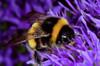 Buzz, buzz, buzz... (graspnext) Tags: flower macro feeding bee superaplus superhearts photofaceoffwinner pfogold
