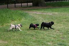 Follow The Leader (Laura Callan) Tags: park family dog pet green london dogs up saint animal st puppy fun james puppies play pug canine pugs meet pedigree