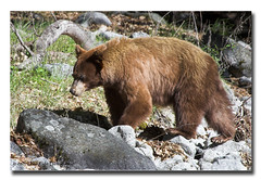 Mom on the move (Herb Dunn (YosemiteJunkie)) Tags: bear nature canon wildlife yosemite cubs splendourofmountains naturescall californiawildlife herbdunn canonef70200lusm dunnrightphotography kerncountyphotographers