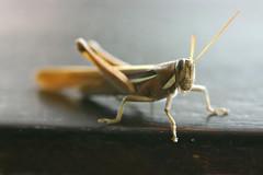 Grilo (Boarin) Tags: macro natureza inseto grilo