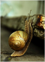 ...and what's over there?... (Cpt<HUN>) Tags: nature animal snail hun cpt dvornik photocontesttnc10
