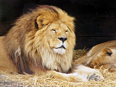 Lion of the Dublin zoo