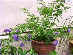 A young flowering plant of Duranta erecta 'Sweet Memories', propagated from stem cuttings. Captured - April 5, 2006