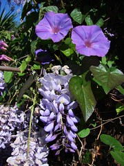 Purple on lavender - wisteria and morning glory (Martin LaBar) Tags: california flowers flower macro green leaves leaf vines purple lavender vine fabaceae morningglory wisteria sandiegocounty supershot a1f1 convulvulaceae guisantefamilia