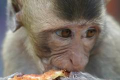 Monkey in Lop Buri