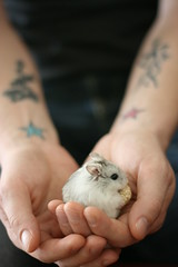 Nibbler and Man Hands (domesticatedhuman) Tags: pet cute dwarf hamster nibbler