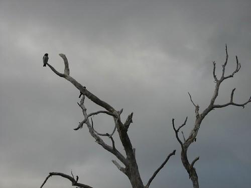 Niaouli et oiseau