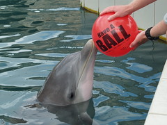 A dolphin having a ball!