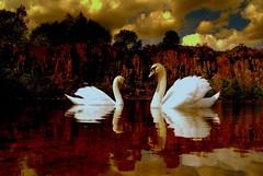 Swantastic loch (Nicolas Valentin) Tags: reflection tree bird water scotland swan bravo auchinstarry challengeyouwinner superaplus aplusphoto damniwishidtakenthat