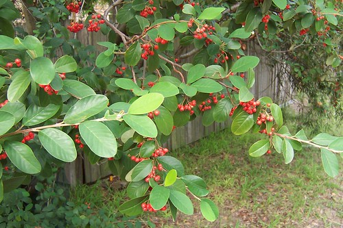 Red berries on a European tree