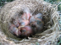 Baby robins at McDonalds