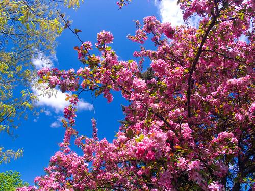 Flowering fruit tree by jpctalbot.