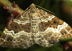 "Common Carpet Moth (Epirrhoe alternat(1) • <a style=""font-size:0.8em;"" href=""http://www.flickr.com/photos/57024565@N00/506396173/"" target=""_blank"">View on Flickr</a>"