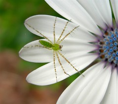 Green spider on african daisy (heurtoirfan, en voyage) Tags: flowers spider florida bokeh bugs africandaisy soe naturesfinest greenspider flowerthemesadminfave outstandingshots flowerfactoryadminfave outstandingshot 1on1allbugs greatflowermacro
