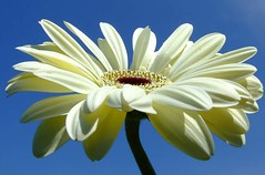 Into the Blue..... (~fb~) Tags: blue sky flower spring cream gerbera jesters naturesfinest abigfave 220507 22ndmay2007