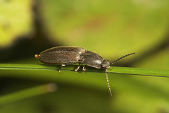 """Click Beetle • <a style=""""font-size:0.8em;"""" href=""""http://www.flickr.com/photos/57024565@N00/510753389/"""" target=""""_blank"""">View on Flickr</a>"""