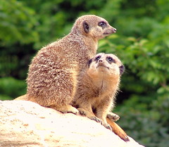 Meerkats - London Zoo, Regents Park, London, England - Sunday May 20th 2007 (law_keven) Tags: wild england london animals zoo sad wildlife londonzoo sadface meerkats naturesfinest explore500 abigfave zooological thelovesgone