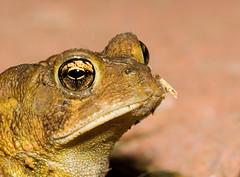 Toad - Head Shot