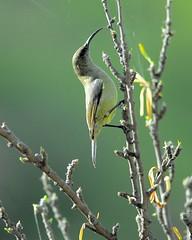 Olive Sunbird (jeremyhughes) Tags: tree bird leaves birds southafrica wings nikon beak feathers d200 nikkor sunbird nikond200 kleinkaroo 300mmf4d gamkaskloof diehel olivesunbird