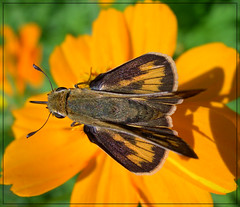Fiery Skipper (Hylephila phyleus) (sojourner photography) Tags: butterfly texas upcloseandpersonal inmygarden flickrsbest
