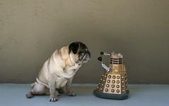 Pug Poses With Dalek