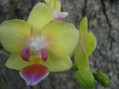Orchids (Tedi17) Tags: pink flowers orchid flower macro yellow canon orchids bright lips phalaenopsis lip brightcolors yellowflowers phalaenopsisorchids flowerscloseups