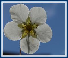 Potentil in the air (Kirsten M Lentoft) Tags: blue sky sunlight white flower macro garden momse2600 potentil kirstenmlentoft