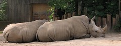 Rhinos (ovas) Tags: louisvillezoo