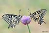 Papilio machaon (Explore) (alfvet) Tags: farfalle macro butterflies natura nikon d5200 veterinarifotografi lepidotteri papilio insetti ngc npc
